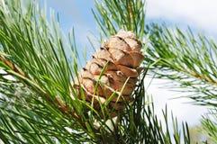 конус кедра ветви Стоковая Фотография