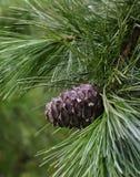 Конус кедра на ветви Стоковое Фото