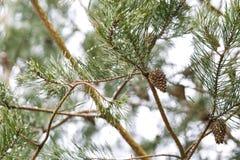 Конус на ветви сосны Стоковые Фотографии RF