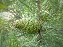 Конус на дереве Стоковая Фотография RF