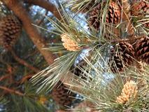 Конус сосенки на ветви Стоковое Фото