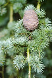 Конус сосенки на ветви Стоковые Фото