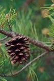 Конус сосенки на дереве Стоковое Фото