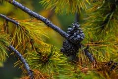 Конус сосны дерева лиственницы в осени Стоковая Фотография