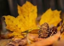 Конус сосны кедра Стоковое фото RF