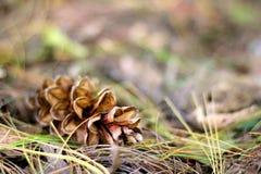 Конус сосны кладя осенью выходит предпосылка Стоковое Изображение