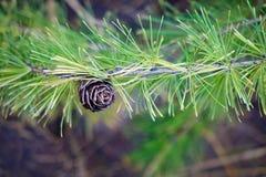 Конус сосны на ветви дерева на осени Стоковое фото RF