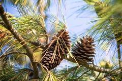 Конус сосны на ветви Стоковое Фото
