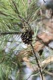 Конус сосны на ветвях Стоковое Изображение RF