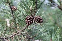Конус сосны на ветвях Стоковое Фото