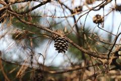 Конус сосны на ветвях Стоковое фото RF