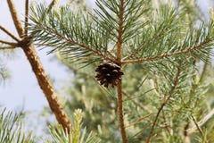 Конус сосны на дереве стоковое фото