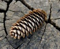 Конус сосны на треснутом пне дерева Стоковые Фото