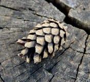 Конус сосны на треснутом пне дерева Стоковые Изображения RF