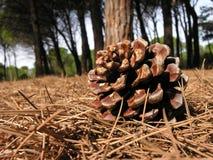 Конус сосны открытый Стоковое Фото