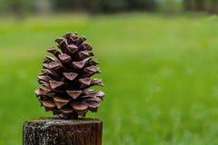Конус сосны под запачканной предпосылкой стоковая фотография rf