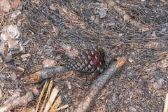 Конус сосны раскрывая вверх после лесного пожара Стоковое Фото
