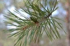 Конус сосны рождественской елки на ветви Стоковое Фото