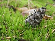 Конус сосны Стоковая Фотография RF