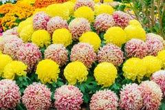 Конус хризантемы Стоковая Фотография RF