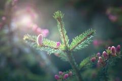 Конус штыря весеннего времени розовый стоковые фото