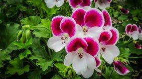 Конфета цветет Bicolour царственный гераниум стоковая фотография