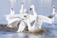 Конфликт лебедей Стоковые Изображения RF