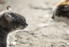 Конфронтация 2 агрессивных котов смотря на один другого, шипение на Стоковые Фото