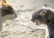 Конфронтация 2 агрессивных котов смотря на один другого, шипение на Стоковая Фотография