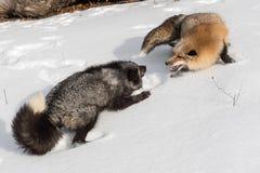 Конфронтация янтарной лисицы лисицы красного Fox участка и серебряного Fox стоковое изображение rf