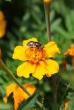 Конца-вверх цветка кавказское мухы aeneus Eristalinus hoverfly на b стоковые фотографии rf
