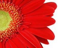 Конца передняя грань вверх - маргаритки Gerbera Стоковое Фото