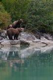 Концентрация медведя Стоковое Изображение