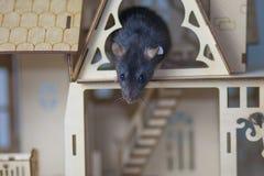Концепция акрофобии Мышь испугана высот стоковое изображение