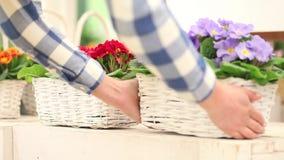 Концепция весеннего времени сада, флорист женщины работая с белыми цветками плетеной корзины первоцветов сток-видео
