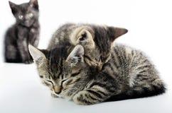 Концепция влюбленности и уединения с котами Стоковые Изображения RF