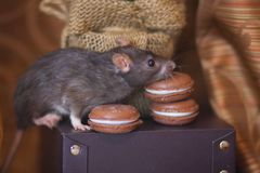 Концепция диеты Крыса с помадками Мышь обнюхивает еду стоковая фотография