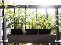 Концепция дома и сада завода и папоротника паука в баке Стоковые Изображения RF
