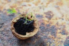 Концепция еды творческого сердца влюбленности вегетарианская Зеленый росток фенхеля растя в раковине грецкого ореха Старое и затр Стоковые Фото