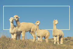 Концепция животных горы поля лама альпаки Shaggy Стоковое Изображение RF