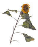 Концепция кожи мертвого солнцецвета терпеливая Стоковая Фотография