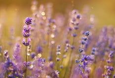 Концепция лета - фиолетовые цветки лаванды Стоковое фото RF