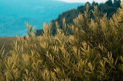 Концепция предпосылки: желтый цвет выходит в свет утра, увяданные цвета, с древообразным наклоном горы и hazed горой в предпосылк Стоковая Фотография RF