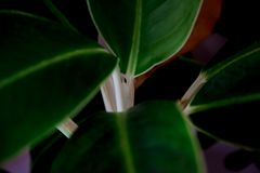Концепция природы, разница в цвете больших листьев и ветви Стоковое Изображение RF