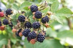 Куст ягоды ежевичника с черным зрелым крупным планом ягод Концепция сбора ягод в сельской местности стоковое фото rf