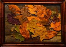Концепция текстуры предпосылки Листья осени красочные на деревянной текстуре в рамке Предпосылка осени, древесина и упаденные лис Стоковые Изображения RF