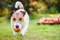 Концепция фестиваля сбора с собакой выручая яблоко от кучи яблок стоковые фотографии rf