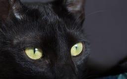 Концепция хеллоуина, черный кот Крупный план отечественного любимчика Стоковая Фотография
