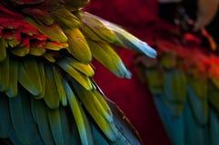 Концы крыла ары шарлаха Стоковые Изображения RF