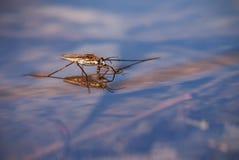 конькобежец пруда Стоковые Фотографии RF